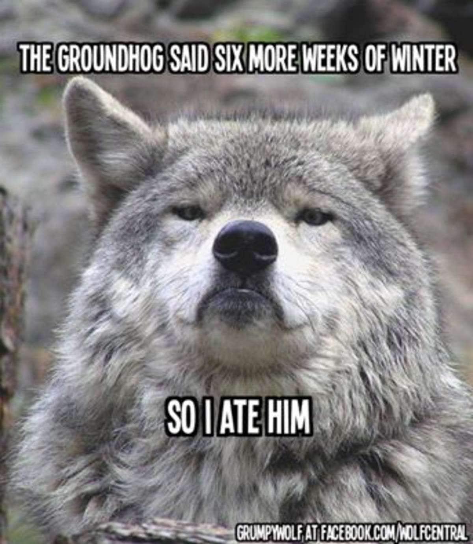 Смешные волки картинки 12 фотография